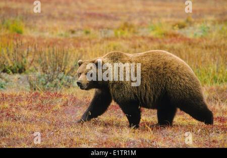 Grizzly Bär (Ursus Arctos Horribilis) Erwachsenen Kreuzung Tundra Herbst, Denali National Park, Alaska, Vereinigte - Stockfoto