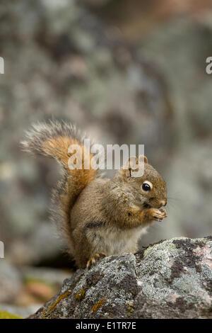 Amerikanisches Rotes Eichhörnchen, Tamiasciurus Hudsonicus, Jasper Nationalpark, Alberta, Kanada - Stockfoto