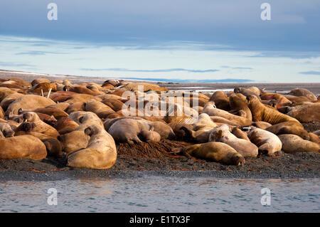 Erwachsene weibliche atlantischen Walrosse (Odobenus Rosmarus) Jungtiere Kälber holte an einem Strand Storoya Nordosten - Stockfoto