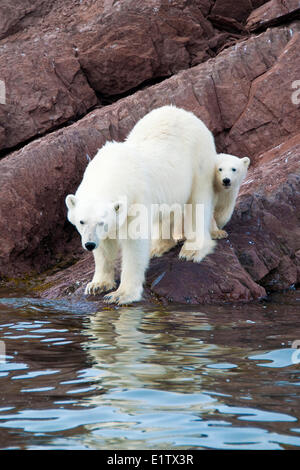 Mutter Eisbär (Ursus Maritimus) und Jährling Cub, Svalbard-Archipel, norwegischen Arktis - Stockfoto