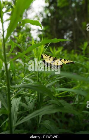 Kanadische Tiger Schwalbenschwanz Schmetterling (Papilio Canadensis) fliegen über dem Rasen Stockfoto