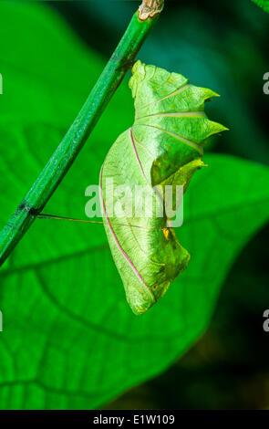 Gemeinsamen Birdwing Schmetterling Puppe, (Troides Helena), Malaysia - Stockfoto