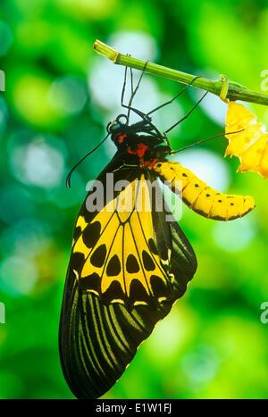 Gemeinsamen Birdwing Schmetterling entstehende pupal Fall (Troides Helena Cerberus), Weiblich, Dorsalansicht, - Stockfoto