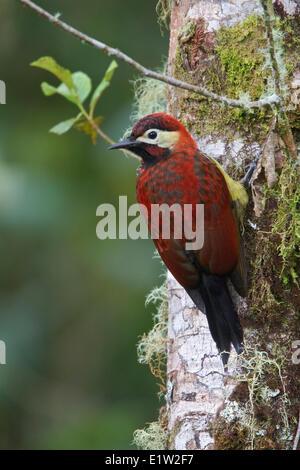 Crimson-Jaguaren Specht (Piculus Rivolii) thront auf einem Ast in Ecuador. - Stockfoto