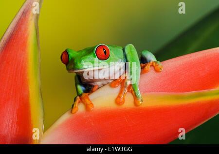 Rotäugigen Baumfrosch (Agalychnis Callidryas) direkten Blickkontakt halten auf bunten tropischen Blumen. Eingeborener - Stockfoto