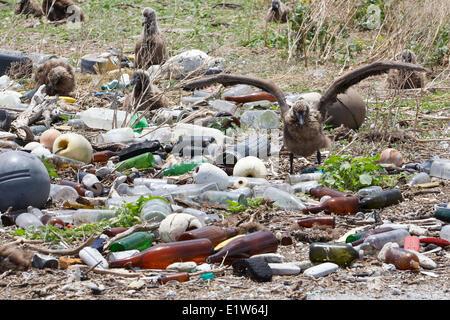 Laysan Albatros (Phoebastria Immutabilis) Verschachtelung Kolonie Plastikmüll gesammelten Forschung Plot Plastikverschmutzung - Stockfoto