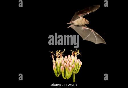 Geringerem Langnasen-Fledermaus (Leptonycteris Yerbabuenae), ernähren sich von Agave Blume, Amado, Arizona. Diese Fledermaus ist so verwundbar aufgeführt.