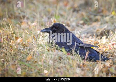 Kolkrabe (Corvus Corax) im Riding-Mountain-Nationalpark, Manitoba Kanada - Stockfoto