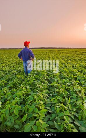 ein Mann in eine Mitte Wachstum Soja Field, Manitoba, Kanada - Stockfoto