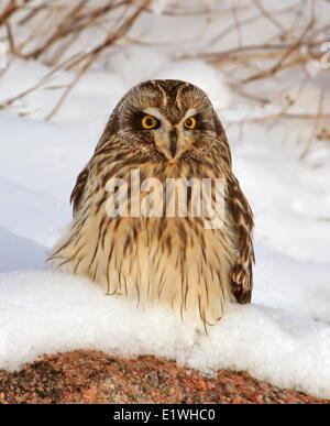 Eine Sumpfohreule, Asio Flammeus, saß im Schnee, am Gardiner-Staudamm, Saskatchewan - Stockfoto
