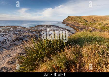 Neuseeland-Flachs in der Curio Bay in den Catlins auf der Nordinsel Neuseelands