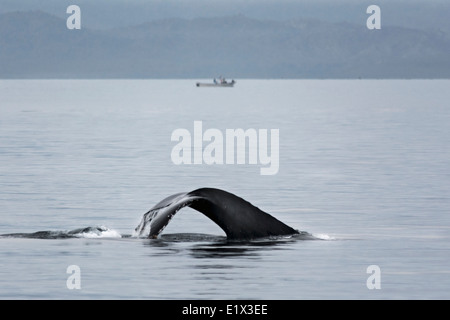 Humpback Whale Tail in ruhigen Gewässern, Sea of Cortez, Baja, Mexiko - Stockfoto