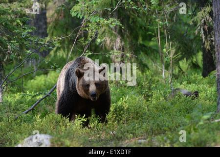 Weibliche Braunbären in den Wald und Sumpf Mitte Finnlands, nahe der russischen Grenze - Stockfoto