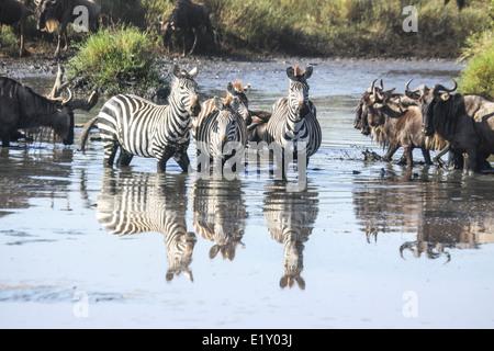 Jährliche Wanderung von über 1 Million Gnus (Connochaetes Taurinus) und 200.000 zebras - Stockfoto