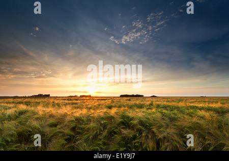 goldenen Sonnenuntergang über Gerstenfeld im Sommer - Stockfoto