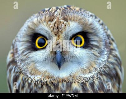 kurze eared Eule - Stockfoto