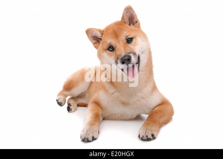 Shiba Inu Hund vor einem weißen Hintergrund - Stockfoto