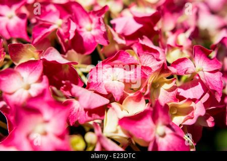 Asiatische Rosa Hortensie Blumen hautnah - Stockfoto
