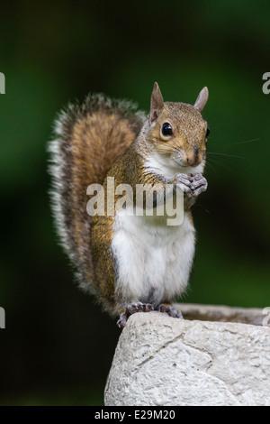 Östliche graue Eichhörnchen (Sciurus Carolinensis) Essen einen Samen beim Sitzen auf eine Vogeltränke. - Stockfoto
