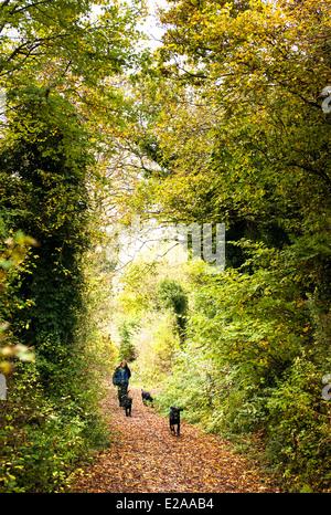 Frau zu Fuß drei schwarze Labrador Hunde entlang einer englischen Wald im Herbst - Stockfoto