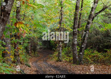 Spanien, Kanarische Inseln, La Gomera, Alto de Garajonay Wald - Stockfoto