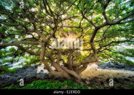 Nicht identifizierte Wild verzweigten Baum bei Sonnenuntergang. Maui, Hawaii - Stockfoto