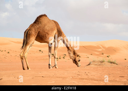 Bild vom Kamel in der Wüste Wahiba Oman - Stockfoto