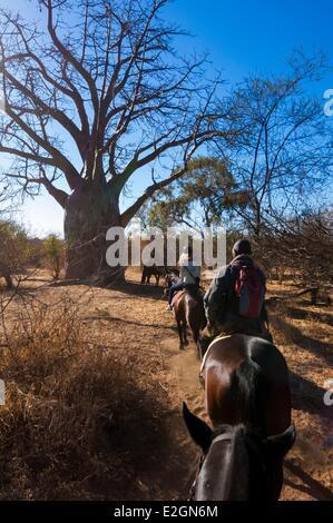Simbabwe Matabeleland North Province Pferd zurück Safari in Victoria Falls National Park baobab - Stockfoto