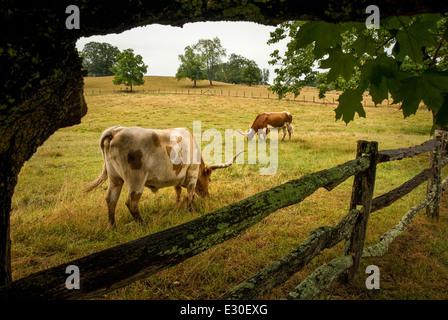Longhorn-Rinder grasen auf Taylor Ranch in Cane Creek Valley, Fletcher (in der Nähe von Asheville), North Carolina, - Stockfoto