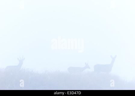 Eine Familiengruppe des Rehwildes ergeben sich aus den frühen Morgennebel im Herbst, Norfolk, England - Stockfoto