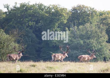 Drei männlichen Rotwild zu Fuß über eine Wiese in den Wald - Stockfoto