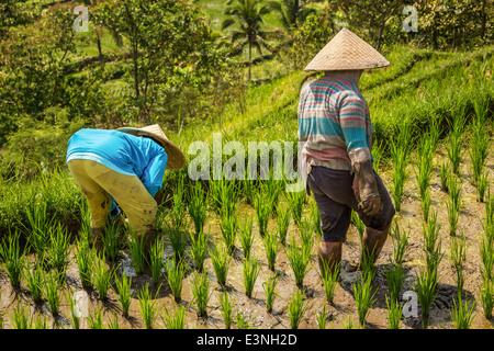 Bäuerinnen zu Fuß durch üppige Reisterrassen auf Bali, Tegallalang, Indonesien - Stockfoto