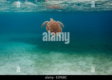 Ziemlich Rückseite ein grünes Meer Chelonia Mydas, Schildkröte, schwimmen entlang Korallenriff Meeresboden in Karibik - Stockfoto
