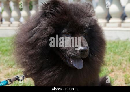Dunkle braune Jacke Chow Chow - Stockfoto