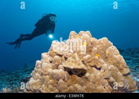 Scuba Diver Blick auf einem Korallenblock mit Weihnachtsbaum Würmer (Spirobranchus Giganteus), Bora Bora, Leeward - Stockfoto