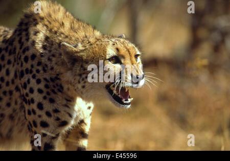 Gepard (Acinonyx Jubatus) Knurren, Südafrika. In Gefangenschaft - Stockfoto