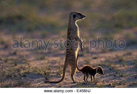 Suricate /meerkat Helfer Erwachsener mit jungen (Suricatta Suricatta) Kalahari Gemsbok NP, - Stockfoto