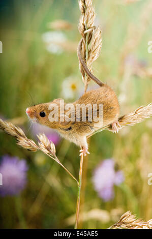 Ernten Sie, Maus {Micromys Minutus} Klettern auf Cocksfoot Wiese mit Wildblumenwiese hinter in Gefangenschaft, UK - Stockfoto