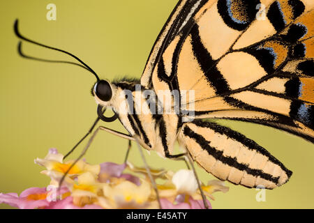 Zitrone / gemeinsame Kalk Schwalbenschwanz Schmetterling (Papilio Demoleus) auf Blüte, Asien, in Gefangenschaft - Stockfoto