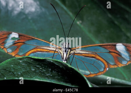 Glasswing Schmetterling (Hypomenitis Andromica), Lebensraum Regenwald, Costa Rica - Stockfoto
