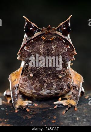 Bornean gehörnten Frosch (Megophrys Nasuta) auf Waldboden. Danum Valley, Sabah, Borneo, Malaysia - Stockfoto