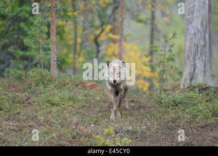 Wilde Europäische graue Wolf (Canis Lupus) Kuhmo, Finnland, September 2008 - Stockfoto