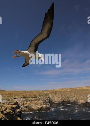 Black-browed Albatros (Diomedea / Thalassarche Melanophrys) fliegen über Küsten Lebensraum, Falkland-Inseln - Stockfoto