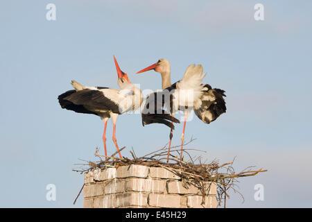 Weißstorch (Ciconia Ciconia) paar, Balz, am Nest auf alten Schornstein, Rusne, Regionalpark Nemunas (Memel), Litauen, - Stockfoto