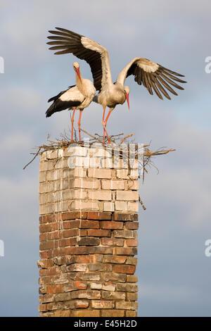 Weißstorch (Ciconia Ciconia) paar am Nest auf alten Schornstein Rusne, Regionalpark Nemunas (Memel), Litauen, Juni - Stockfoto