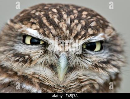 Steinkauz (Athene Noctua) Kopf Portrait, in Gefangenschaft, UK - Stockfoto
