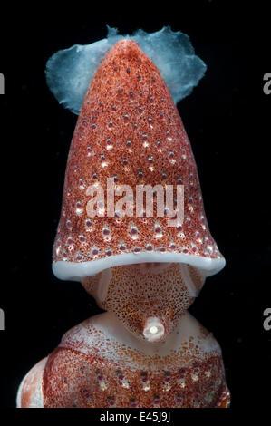 Deepsea Tintenfisch (Histioteuthis sp) zeigt Trichter zwischen 188 m/617 ft und 507 m/1, 663 ft tiefe Nacht, Mid - Stockfoto