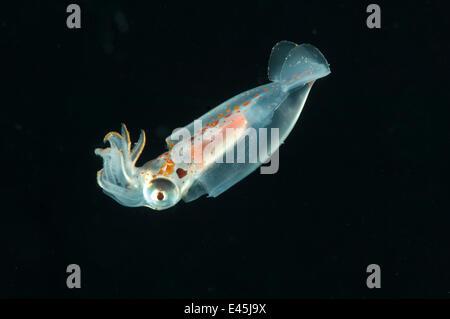 Deepsea Tintenfisch Midwater fangen 195-498m, Mid-Atlantic Ridge, Nord-Atlantik - Stockfoto