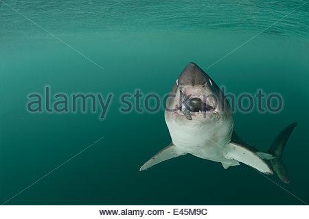Lachs Hai {Lamna Ditropis} gefangen, mit Lachs in Mund (Augen werden ein Rollback für Schutz), Prince William Sound, - Stockfoto