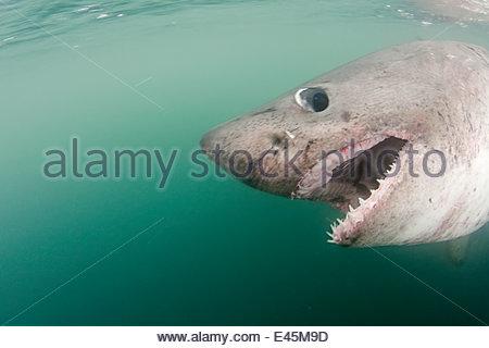 Nahaufnahme von Zähnen und Mund Lachs Hai {Lamna Ditropis} Captive, Prince William Sound, Alaska, USA (digital bearbeitet) - Stockfoto